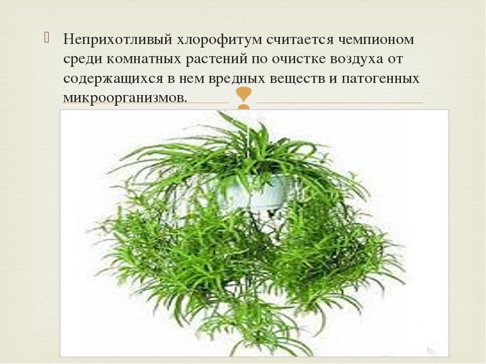Неприхотливый хлорофитум считается чемпионом среди комнатных растений по очис...