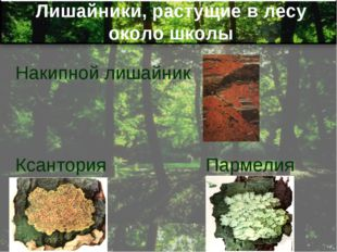 Лишайники, растущие в лесу около школы Накипной лишайник Ксантория Пармелия