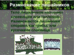 Размножение лишайников Тело лишайников называют слоевищем или талломом. Размн