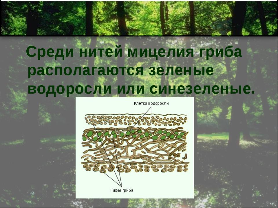 Среди нитей мицелия гриба располагаются зеленые водоросли или синезеленые.