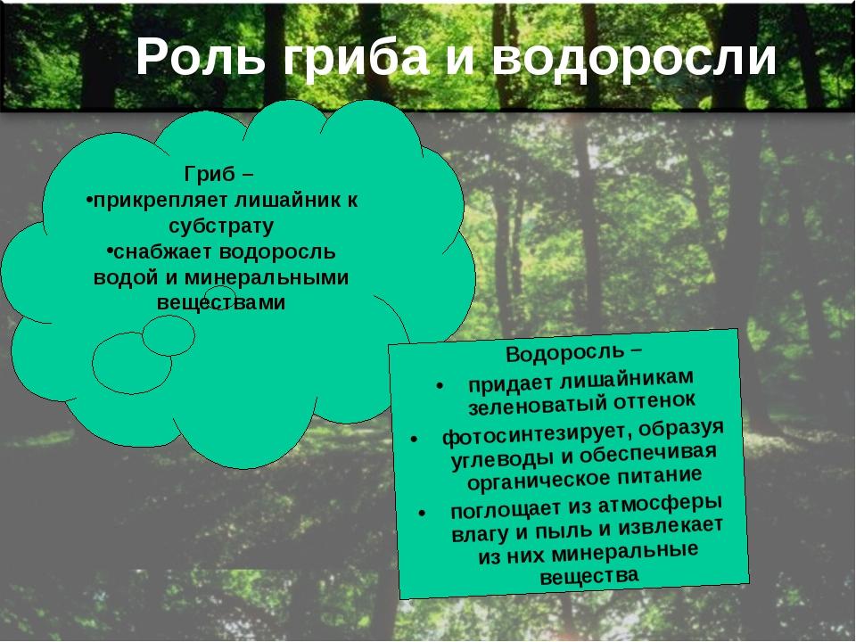 Роль гриба и водоросли Гриб – прикрепляет лишайник к субстрату снабжает водор...