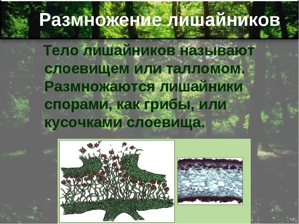Размножение лишайников Тело лишайников называют слоевищем или талломом. Размн...