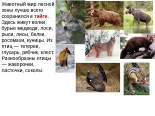 Животный мир лесной зоны лучше всего сохранился в тайге. Здесь живут волки, б