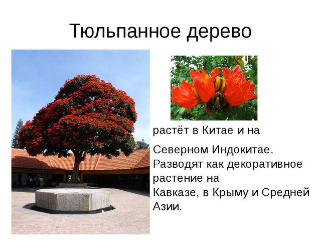 Тюльпанное дерево растётвКитаеина СеверномИндокитае. Разводяткакдекор...