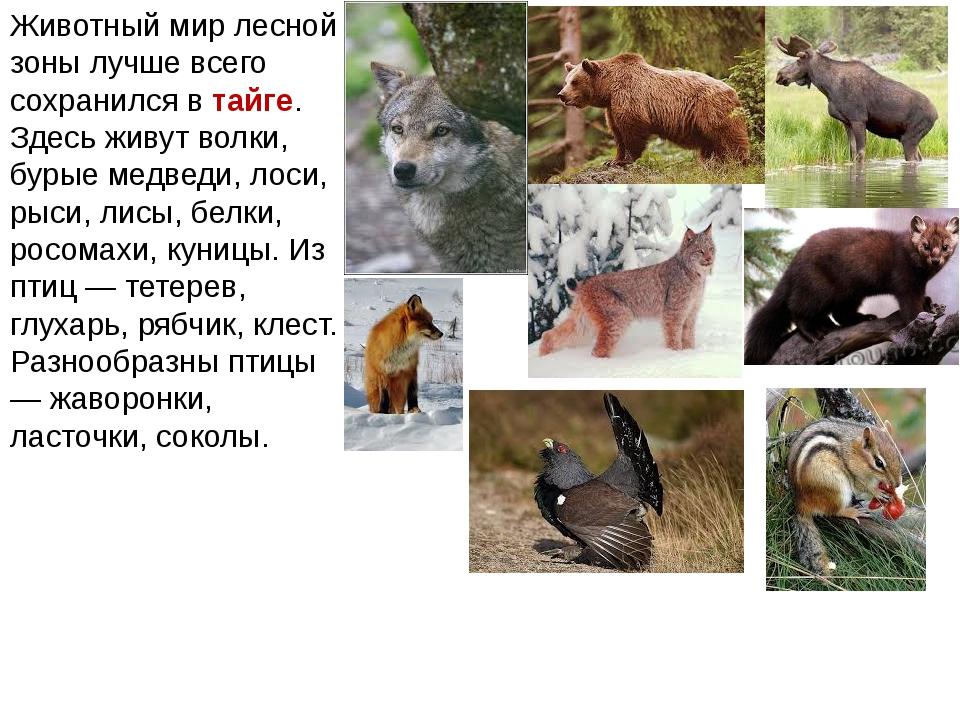 Животный мир лесной зоны лучше всего сохранился в тайге. Здесь живут волки, б...