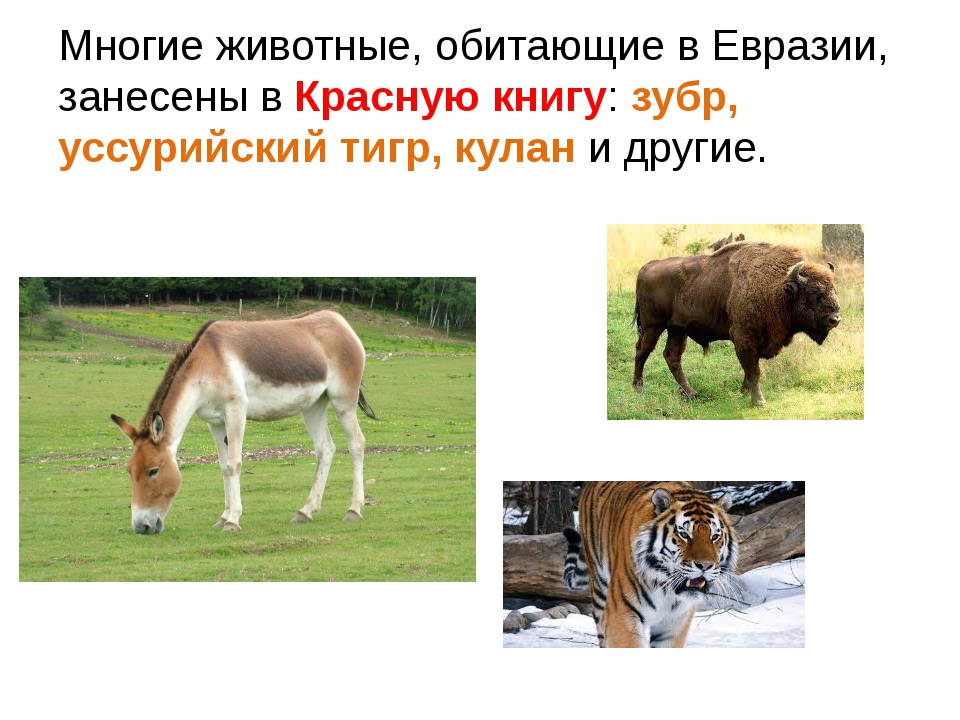 Многие животные, обитающие в Евразии, занесены в Красную книгу: зубр, уссурий...