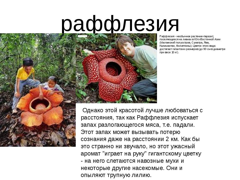 раффлезия Раффлезия - необычное растение-паразит, поселяющееся на лианах в Юг...