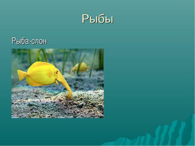 Рыбы Рыба-слон