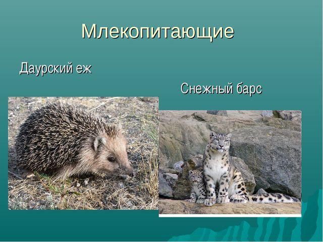 Млекопитающие Даурский еж Снежный барс