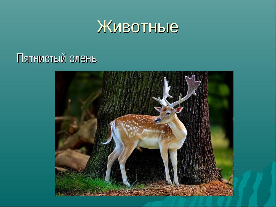 Животные Пятнистый олень