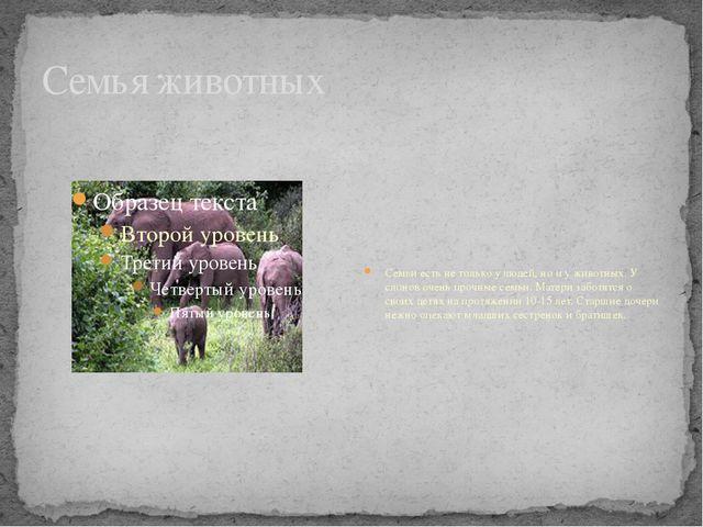 Семья животных Семьи есть не только у людей, но и у животных. У слонов очень...