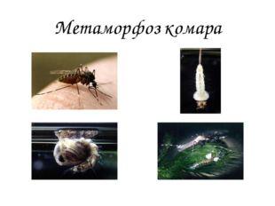 Метаморфоз комара