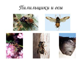 Пилильщики и осы