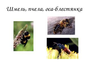 Шмель, пчела, оса-блестянка