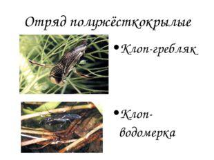 Отряд полужёсткокрылые Клоп-гребляк Клоп-водомерка