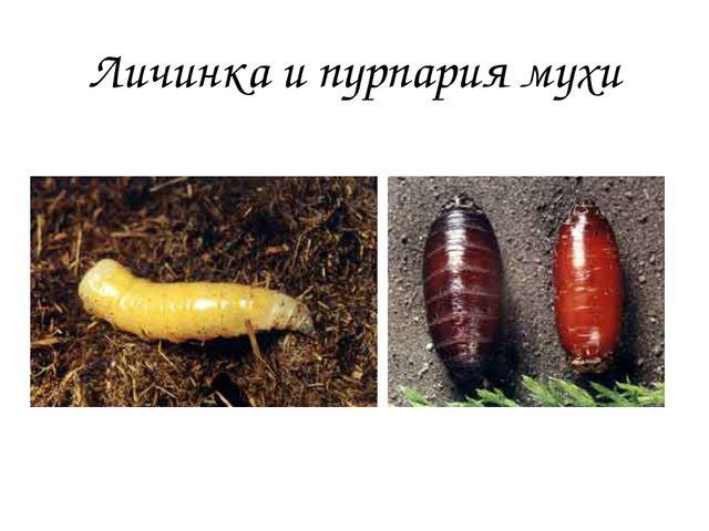 Личинка и пурпария мухи