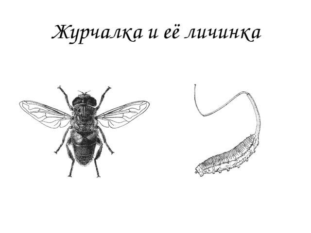 Журчалка и её личинка