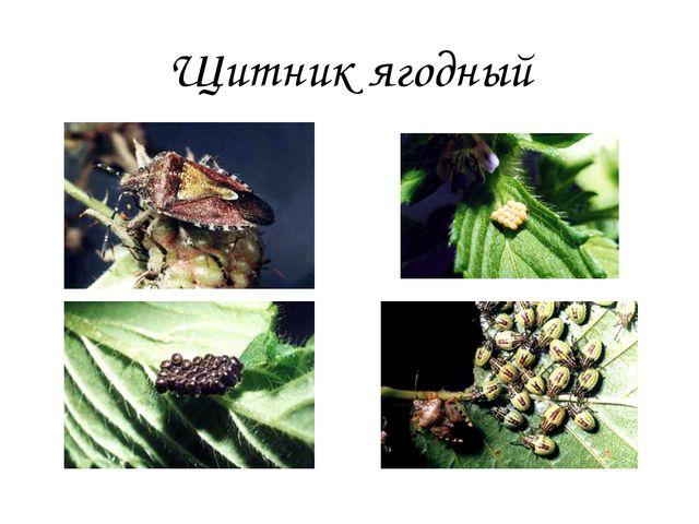 Щитник ягодный