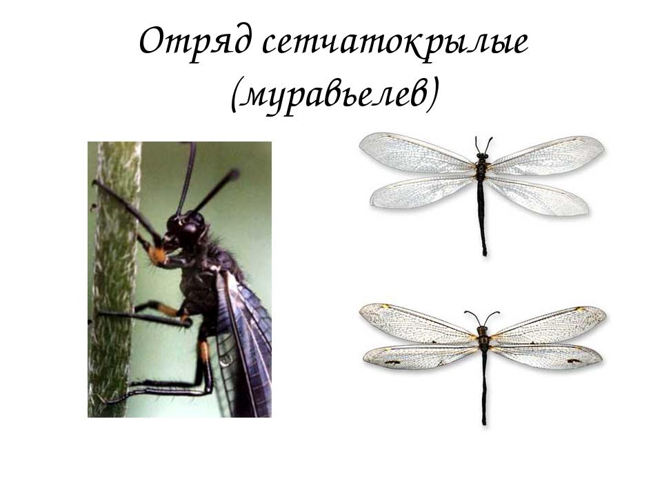 Отряд сетчатокрылые (муравьелев)