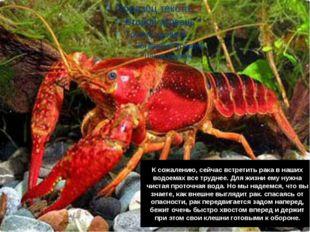 К сожалению, сейчас встретить рака в наших водоемах все труднее. Для жизни ем