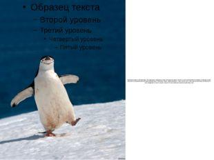 Пингвины живут в Антарктиде. Это красивые, изящные птицы, которые не умеют ле