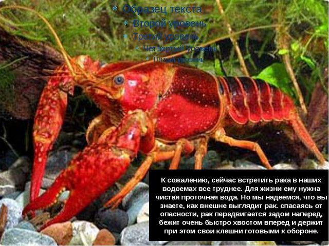 К сожалению, сейчас встретить рака в наших водоемах все труднее. Для жизни ем...