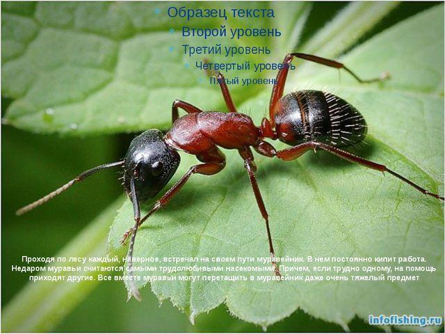 Проходя по лесу каждый, наверное, встречал на своем пути муравейник. В нем по...