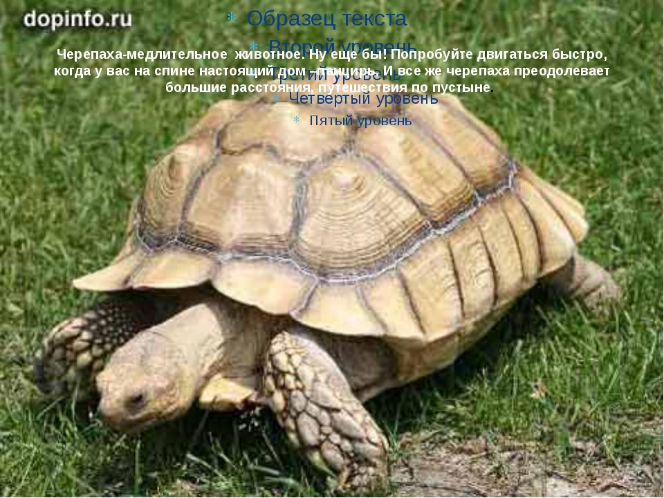 Черепаха-медлительное животное. Ну еще бы! Попробуйте двигаться быстро, когда...
