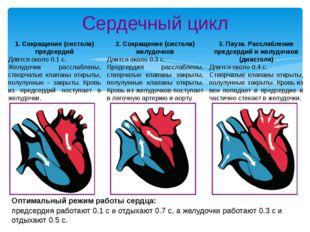 Сердечный цикл 1. Сокращение (систола) предсердий Длится около 0.1 с. Желудоч