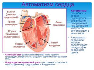 Автоматизм сердца Cинусный узел расположен в верхней части правого предсердия