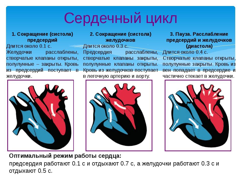 Сердечный цикл 1. Сокращение (систола) предсердий Длится около 0.1 с. Желудоч...