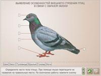 Выявление особенностей внешнего строения птиц в связи с образом жизни.