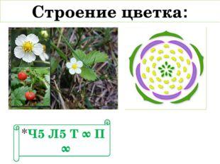 Строение цветка: Ч5 Л5 Т ∞ П ∞