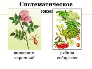 Систематическое положение: шиповник коричный рябина сибирская