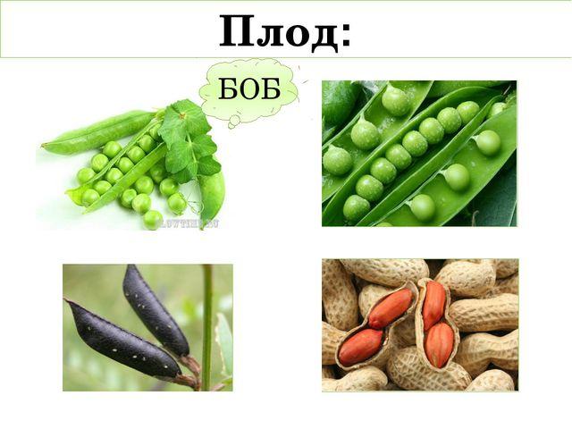 Плод: БОБ