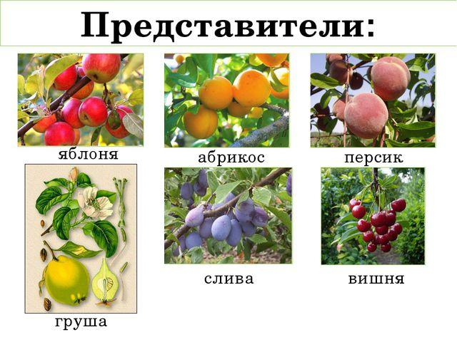 Представители: яблоня груша абрикос персик слива вишня