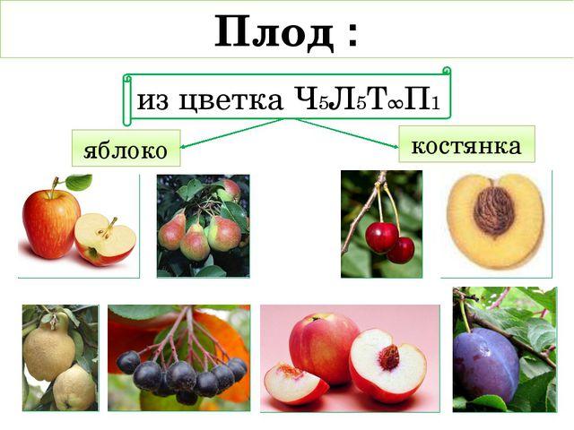 яблоко костянка Плод : из цветка Ч5Л5Т∞П1