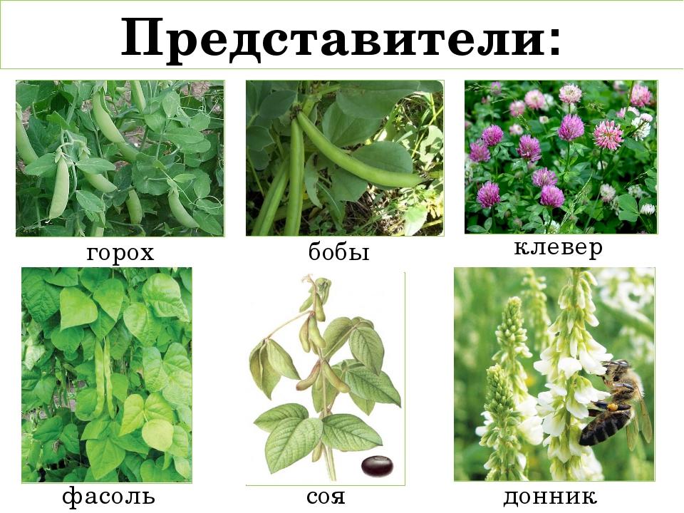 пять бобовые растения названия список считают таких детей