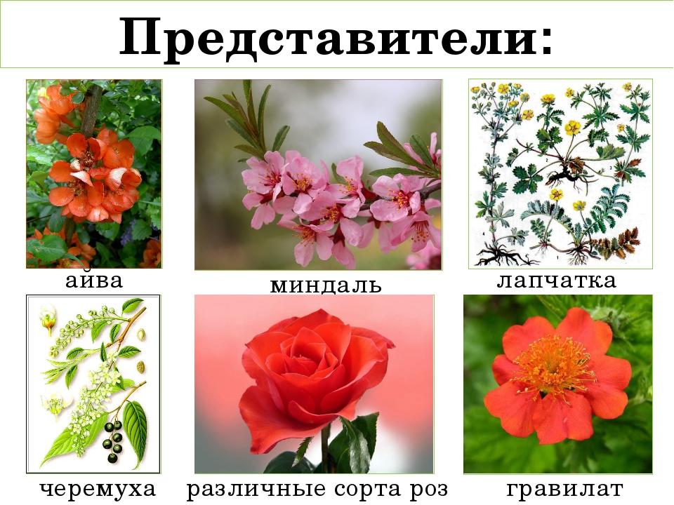 Представители: айва лапчатка миндаль черемуха различные сорта роз гравилат