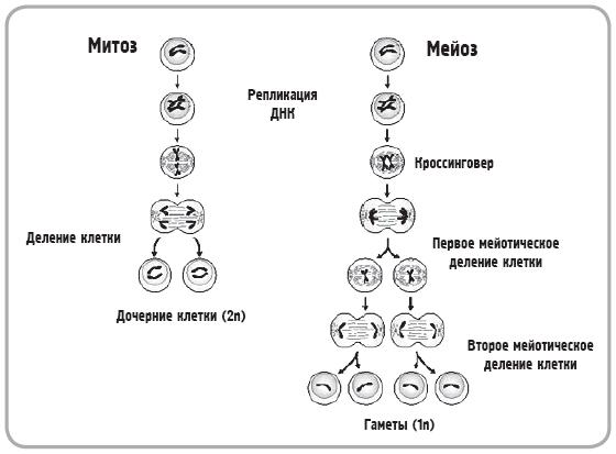 C:\Documents and Settings\Недомолкина\Мои документы\Загрузки\приказ 249 за 2013год\Митоз-и-мейоз.jpg