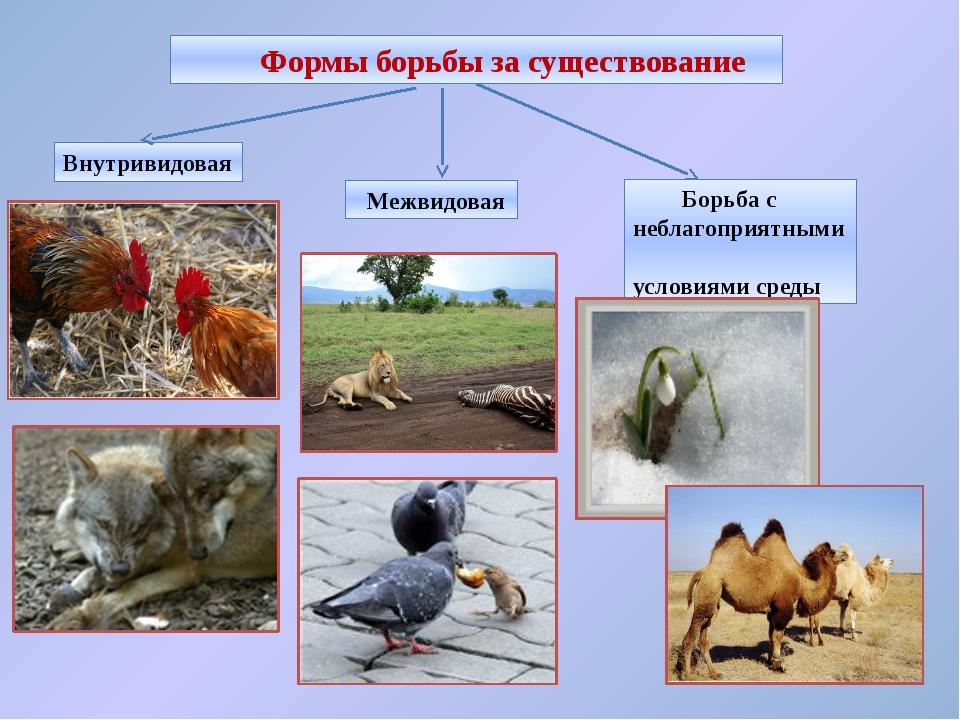 Внутривидовая борьба за существование Происходит между особями одного вида. Э...