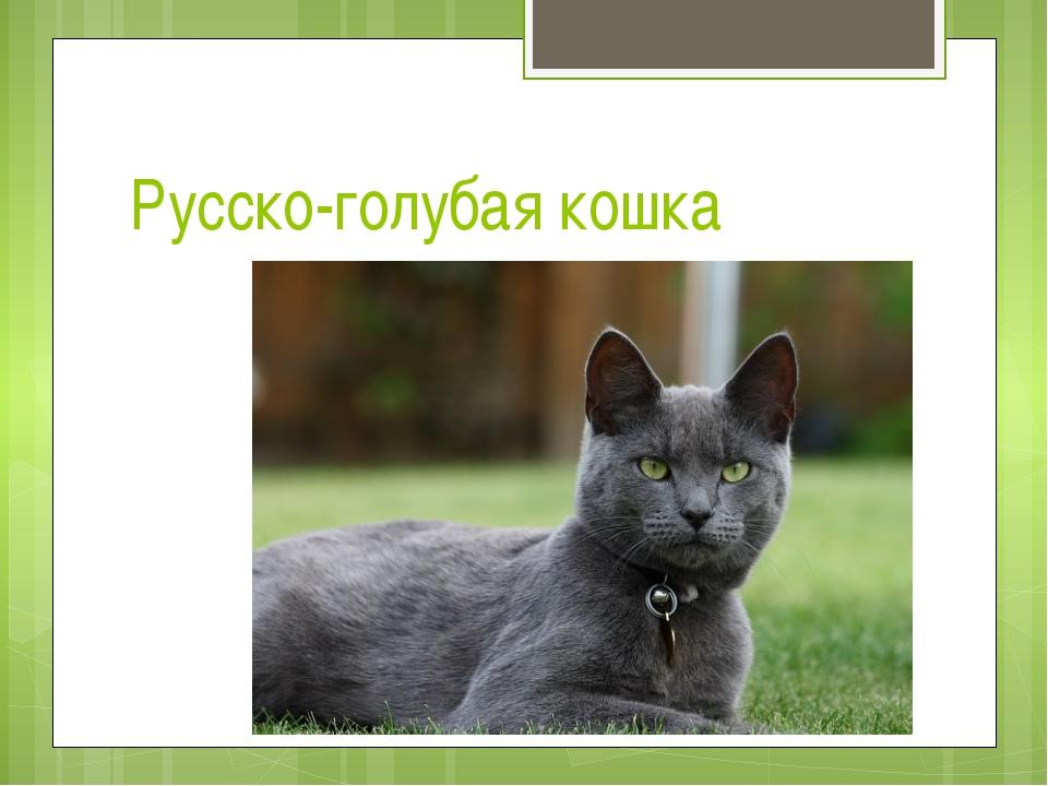 Русско-голубая кошка