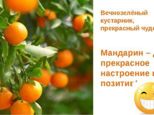 Вечнозелёный кустарник, прекрасный чудо-фрукт. Мандарин – дарит прекрасное н