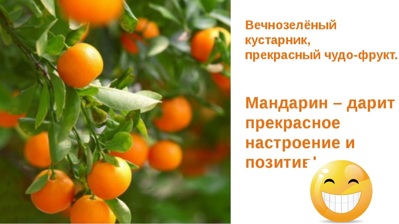 Вечнозелёный кустарник, прекрасный чудо-фрукт. Мандарин – дарит прекрасное н...