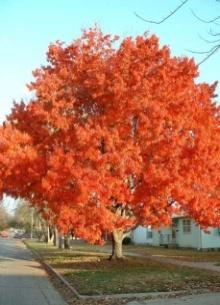 f:\123123\maple_tree.jpg