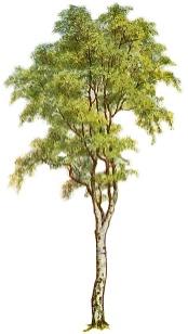 f:\123123\silver_birch_tree.jpg