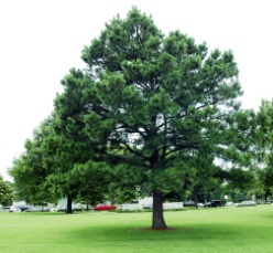 f:\123123\pine_tree.jpg