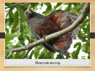 Попугай нестор