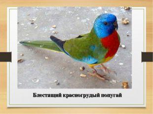 Блестящий красногрудый попугай