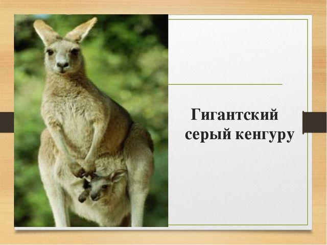 Гигантский серый кенгуру